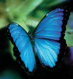 Image detail for -butterflies this is a blue morpho butterfly i would have