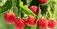 Bei der Himbeerenpflege kann man einiges falsch machen. Wenn Sie diese drei Fehler bei der Pflege vermeiden, winkt eine reiche Ernte der leckeren Früchte.