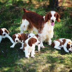 welsh springer spaniel puppies
