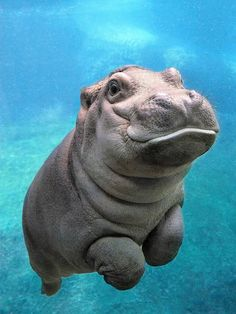 These adorable pictures of baby hippo redefine cuteness overload - Meerestiere - Animal Cute Little Animals, Cute Funny Animals, Adorable Baby Animals, Cute Pets, Adorable Babies, Cute Baby Sloths, Cute Baby Dogs, Cute Animals Puppies, Baby Otters