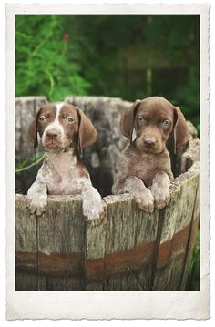 German Shorthaired Pointer - A Barrel of pups