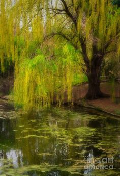 Weeping Pond/ Weeping Willows- my favorite trees Weeping Willow, Willow Tree, Beautiful World, Beautiful Places, Beautiful Pictures, Tree Forest, Tree Art, Nature Photography, Scenery