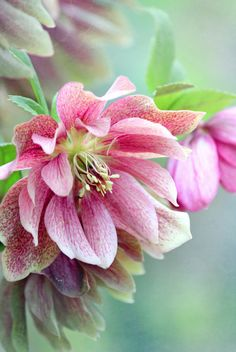 beautiful pink hellebores - Lenten Rose