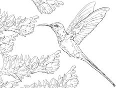 Swallow Tail Hummingbird coloring page from Hummingbirds category. Select from 24848 printable crafts of cartoons, nature, animals, Bible and many more.