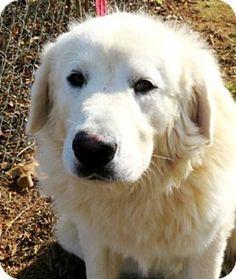 11/6/16 Carrollton, GA - Great Pyrenees. Meet Doggle, a dog for adoption. http://www.adoptapet.com/pet/16975078-carrollton-georgia-great-pyrenees