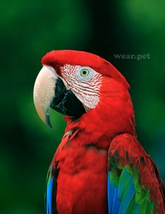 The #Macaw is a beautiful large long-tailed parrot with brightly colored plumage, native to Central and South America. 📷 Credit: Freepik. #birds #beautiful #love #animals #photo #wild #photography #cute #animal #bird #free #parrot #oiseau #America #guacamaya #pájaro #animales #طائر #kuş #pássaro #птица #vogel #ara #uccello ⠀⠀⠀⠀⠀ Wild Animals Pictures, Bird Pictures, Pictures To Paint, Animal Pictures, Cool Pictures, Colorful Parrots, Colorful Birds, All Birds, Cute Birds