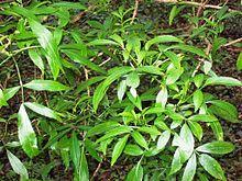 Sambucus australasica