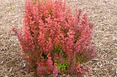 An exciting barberry variety selected for its upright growth in addition to foliage colors in vivid shades of red and orange. New growth emerges radiant with orange-red tones deepening to dark red. Light yellow flowers in the spring are followed by small crimson fruit. Foliage hues intensify in fall, making 'Orange Rocket' light up the …