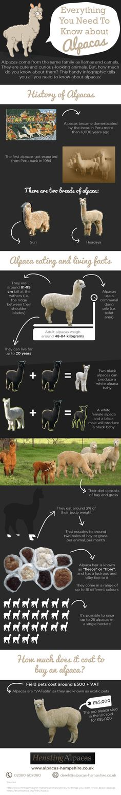 This is an infographic about Alpaca Facts, everything you need to know about alpacas. Hensting Alpacas are farming these fantastic animasls here in the UK so why not come over and have a look and share amongst you friends, we hope you like it. #infographic