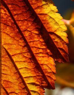 lovely sunlit autumn leaf