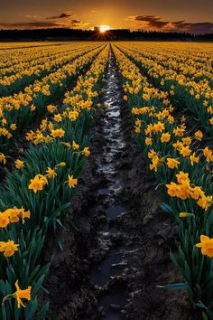 Tulips are not the only Spring delight in Sakgit Valley, Washington. Here is a field of Daffodils... bet this smells delightfully intoxicating!