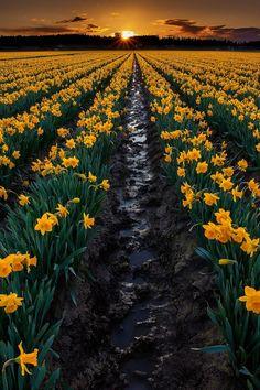Daffodil festival at skagit valley, Washington
