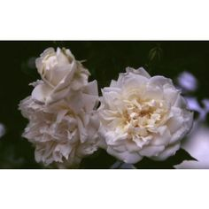 "Lamarque//NOISETTE//pure white & pale center//profuse bloomer//bush or climber//4"" flowers//NEARLY THORNLESS"