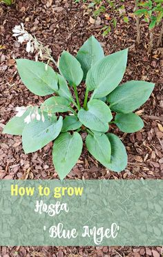 Blue angel hosta is a mammoth variety that will grow 3 feet tall and over 4 feet wide.  It is easy to grow and makes a great focal plant in a shade garden. #hostas #perennials #shadegarden #lowlightplants #hostablueangel #plantainlily Plantain Lily, Fairy Garden, Plants, Hosta Blue Angel, Hostas, Lilac Flowers, Low Light Plants, Garden, Shade Garden