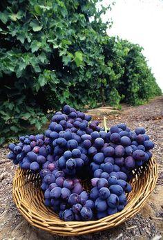 Raisin fruit de la vigne...