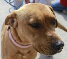 True - Urgent! is an adoptable Redbone Coonhound Dog in Stanton, KY. True is approx 1- 1.5 years old. She was surrendered by a young family who could no longer afford to keep her. She is very socia...