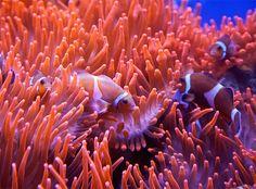 Alpina Feine Farben No. 25 – Spiel der Korallen. In den tropischen Meeren präsentiert sich das Leben unter Wasser auf einzigartig malerische Weise. Wie im Spiel bewegen sich hier farbenprächtige Fische durch die leuchtenden Riffe der Korallen. Besonders das Zusammenspiel der intensiven Töne aus Orange und Rot weckt Staunen und Faszination – und führte zu dieser spektakulären, expressiven Nuance. #Design #DIY #Farbe #Einrichten #Wohnen #Inspiration #Wandgestaltung #Premium #Innenfarbe #orange