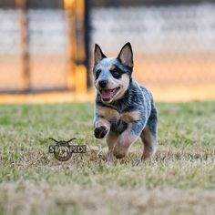 Australian Cattle Dog..Blue Heeler Puppy...THESE ARE THE AMAZING DOGS, THEY ARE LOYAL,LOVING, SMART ..MOSTLY THEY ARE YOUR BEST FRIEND!!!