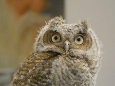 i want a pet owl Baby Owls, Owl Babies, Screech Owl, All About Animals, Owl Bird, Reptiles And Amphibians, Cute Owl, Bird Watching, Bird Feathers