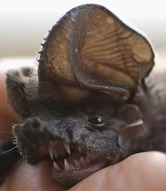 European Free-tailed Bat