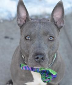 Brooklyn Center KAYIA - A1028103 ***SAFER : AVERAGE HOME*** SPAYED FEMALE, GRAY / WHITE, PIT BULL MIX, 2 yrs SEIZED - ONHOLDHERE, HOLD FOR EVICTION Reason OWN EVICT Intake condition UNSPECIFIE Intake Date 02/16/2015, https://www.facebook.com/photo.php?fbid=970131092999770