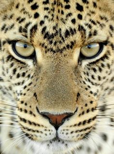 Funny pictures about Beautiful leopard with different coloured eyes. Oh, and cool pics about Beautiful leopard with different coloured eyes. Also, Beautiful leopard with different coloured eyes. Beautiful Cats, Animals Beautiful, Cute Animals, Gorgeous Eyes, Amazing Eyes, Pretty Eyes, Wild Animals, Simply Beautiful, Hello Gorgeous