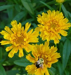 Lazy Gardener?  try carefree Coreopsis  - tolerant from zones 3 through 11. Commonly called tickseed, this relative of the sunflower prospers in dry, sunny locations w/ poor soil, making it ideal for problem areas in the garden & an ideal centerpiece in containers surrounded by shorter trailing flowers.