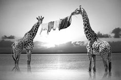 """Avec sa série """"Hakuna Matata"""", le jeune photographe français Thomas Subtil s'amuse à imaginer des situations insolites mettant en scènes les animaux du Keny"""