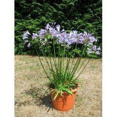 Agapanthus Bluestorm soft bleu violet fleurs jardin plante vivace