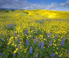 a field of yellow and blue.