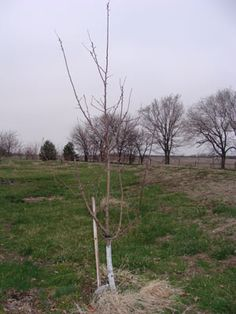 Dormant-Pruning Apples for Strength