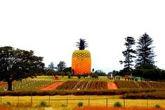 Attractions in the 6th Wonder of our World. #bigpineapple #sunshinecoast