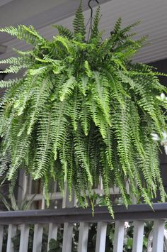 Boston fern in a moss lined wire basket on the front porch. I do these each summer. They are the best and easiest to care for. Even during the heat of the summer.