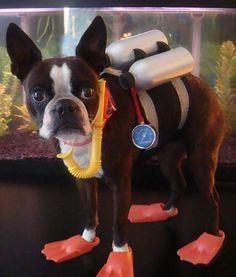 Scuba Diving, Anyone? - http://bostonterrierworld.com/scuba-diving-anyone/