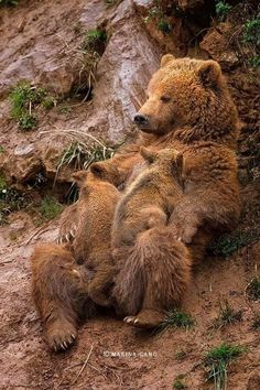 ~~Delicious Time ~ brown bear cubs feeding by Marina Cano~~ [previous pinner& - Animals - Nature Animals, Animals And Pets, Baby Animals, Funny Animals, Cute Animals, Wild Animals, Animals With Their Babies, Baby Pandas, Beautiful Creatures