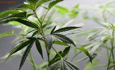 El Parlament aprueba una ley que regula las asociaciones de consumidores de cannabis