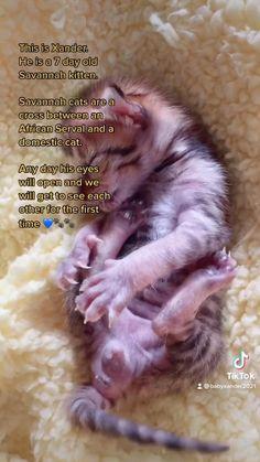 Savannah Kitten, Savannah Chat, Serval, Kittens, Cats, Domestic Cat, His Eyes, Old Things, African
