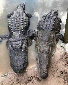 A great side by side of an alligator and a crocodile! Alligators have short fat snouts and crocodiles have long slender snouts. Alligators, Animals Images, Cute Animals, Creepy Animals, Crocodile Species, Reptile Zoo, Amazing Beasts, River Monsters, Cat Boarding