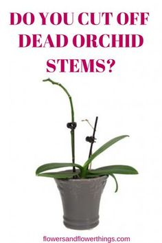 Orchid Care Discover Do You Cut Off Dead Orchid Stems? - Do you cut off dead orchid stems as well as how to cut the stems? Yes using the appropriate technique depending on the variety you own. Phalaenopsis Orchid Care, Orchid Plant Care, Dendrobium Orchids, Orchid Repotting, Indoor Orchid Care, Orchid Propagation, Orchids In Water, Indoor Orchids, Orchids Garden