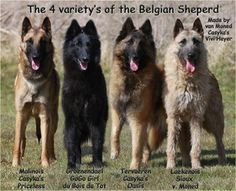 All 4 Belgian sheepdog types...Malinois Groenendeal, Tervuren, and Laekenoi. LOVE this breed ~!~