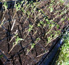 ta sticklingar bärbuskar Garden Soil, Garden Plants, House Plants, Gardening, Dream Garden, Garden Planning, Compost, Diy And Crafts, Planters