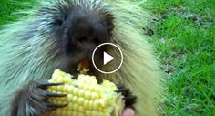 Adorable 'Talking' Porcupine Doesn't Like To Share