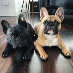 The major breeds of bulldogs are English bulldog, American bulldog, and French bulldog. The bulldog has a broad shoulder which matches with the head. Cute Puppies, Cute Dogs, Dogs And Puppies, Doggies, Cute French Bulldog, French Bulldog Puppies, Cãezinhos Bulldog, Bullen, Cute Baby Animals