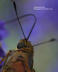 This a macro image of a butterfly. The purple background creates a magical backdrop to the high detail of the butterfly's eye and head. Butterfly Eyes, Purple Backgrounds, Original Image, Backdrops, Sydney, Animals, Detail, Animales, Animaux