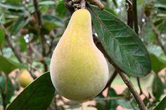 Pera do campo - cultivada no cerrado brasileiro. Muito rara por causa da devastação da vegetação. Tem o mesmo tamanho e formato que a pera comum com a casca aveludada e é amarga como o limão.