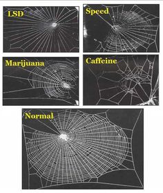 In 1995 a group of NASA scientists studied the effects of various legal & illegal drugs on house spiders, specifically on the way they weave their webs.    The spider high on marijuana did an ok job weaving, but then got bored/distracted & didn't finish. The one on speed went really fast, but without much awareness of the overall picture, leaving gaps. The acid-trippy spider wove a psychedelic, symmetrical web which was very pretty but not great at catching bugs while coffee speaks for itsel...