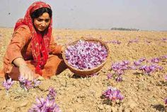 Harvesting the saffron crocus flowers - allbestindiarecipe.com