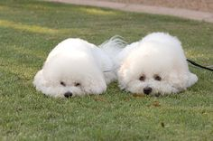 Champion Bichons Frises pretending to be little white seal… | Flickr