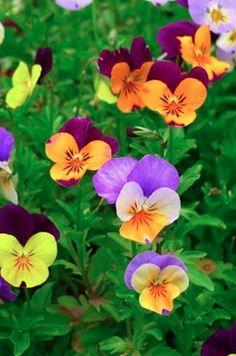 #Pensée #Fleur #FLOWER
