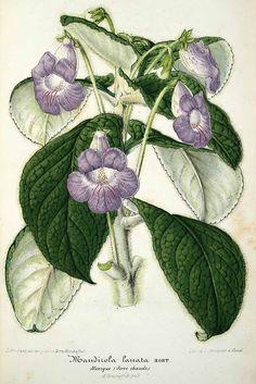 30424 Achimenes lanata (Planchon & Linden ex Lemaire) Hanst. [as Mandirola lanata Planchon & Linden]  / L' Illustration horticole, vol. 3: t. 80 (1856) [L. Stroobant]